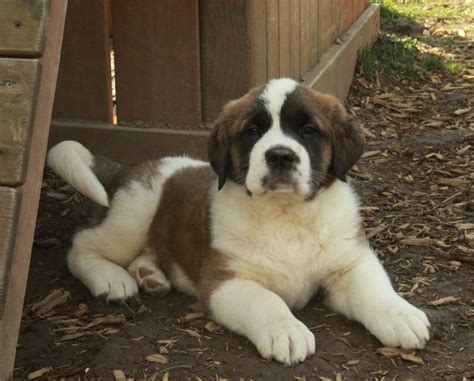 st bernard puppy for sale bernard puppies for sale dogs for sale puppies for sale in ontario canada