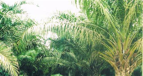 Minyak Goreng Prioritas pupuk plant catalyst 2006 meraup untung berkat kelapa