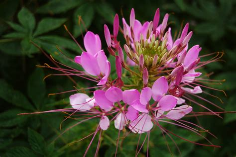 cleome a guide to growing this conkers bonkers flower higgledy garden