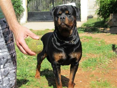 breogan rottweilers 1 de breogan chien de race toutes races en tous departements inscrit sur