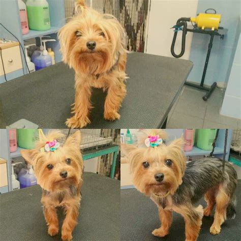 yorkie grooming tips best 25 yorkie hairstyles ideas on yorkie hair cuts yorkie haircuts and