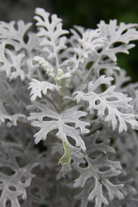 Tanaman Daun Dusty Miller dusty miller plant senecio cineraria stock photo image