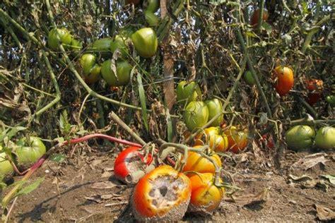 blight resistant tomato varieties the garden of eaden