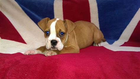 bulloxer puppies for sale bulloxer pups for sale leter ceredigion pets4homes