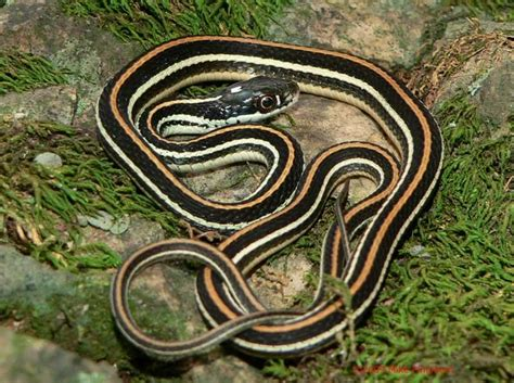 Garter Snake Deck Reptiles Forestry 599 With Price At Of