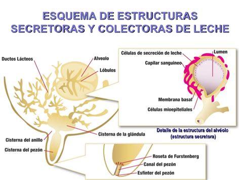 glandula submaxilar anatomia los mamiferos primaria related keywords los mamiferos