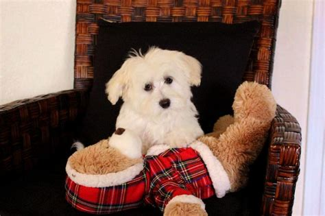 blossom havanese our nursery of coton de tulear havanese puppies available by cornerstone
