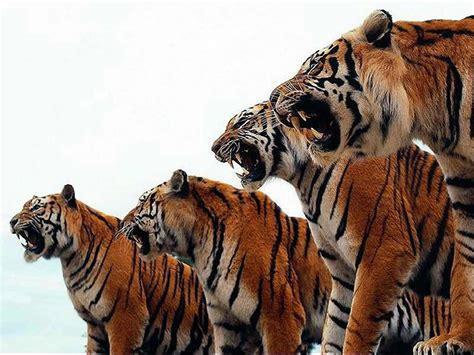 imagenes en 3d de tigres felinos