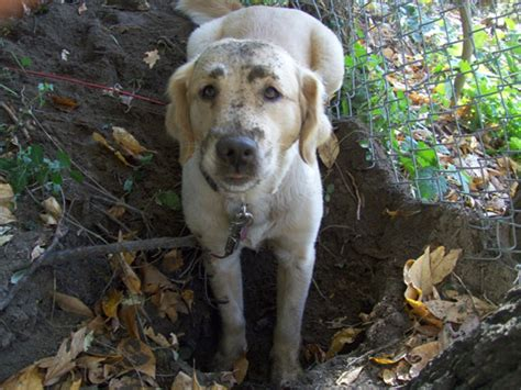 great lakes golden retriever rescue great lakes golden retriever rescue grand rapids mi