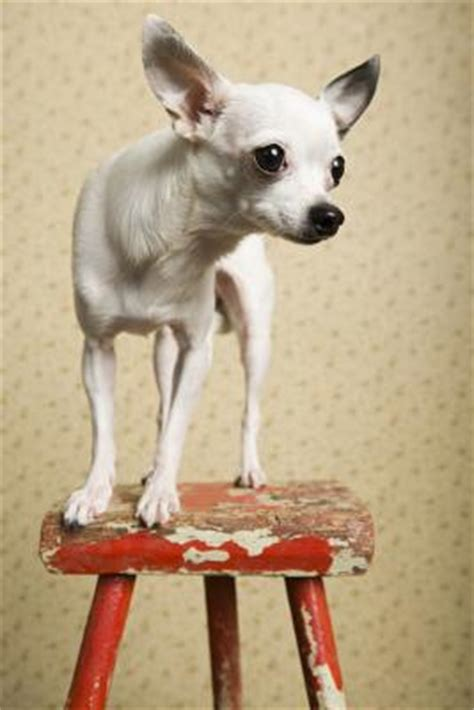 how much does a yorkie weigh how much does a grown chihuahua weigh care daily puppy