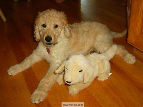 goldendoodle puppy wallpaper wallpaper goldendoodle images