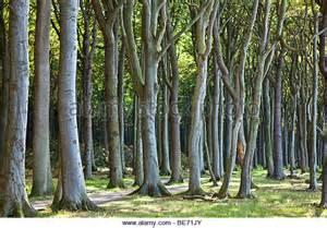 trees in germany nienhagen germany trees newhairstylesformen2014
