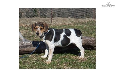 blue tick beagle puppies for sale near me beagle puppy for sale near oklahoma city oklahoma 0dc87c83 1a41