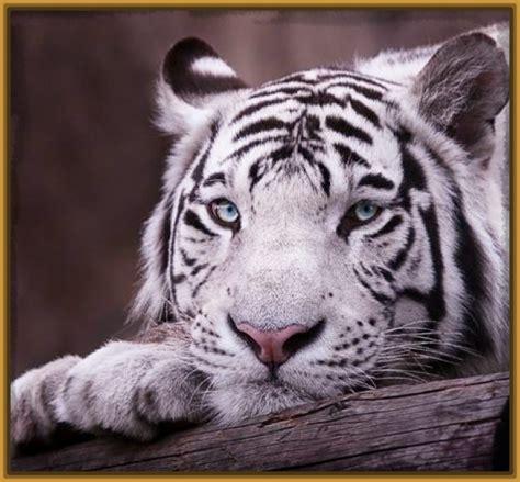 imagenes de tigres de bengala tigre de bengala blanco bebe www pixshark com images