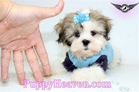 shih tzu breeders los angeles echo teacup shih tzu puppy breeders in los angeles ca