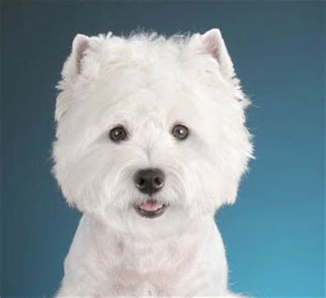 small white breeds small white dogs breeds picture