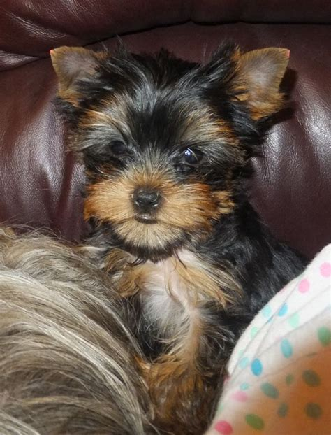 yorkie puppies for sale la related pictures biewer terrier biewer yorkie information and biewer car pictures