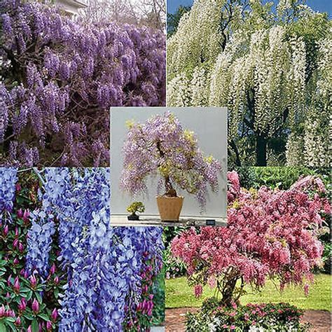 wisteria color wisteria vine 5 colors and varieties 10 50 100 500