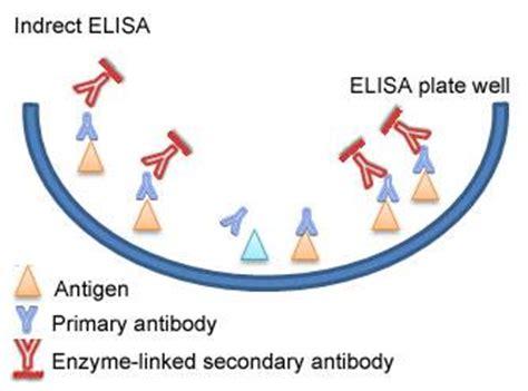 elisa test diagram indirect elisa diagram laboratories