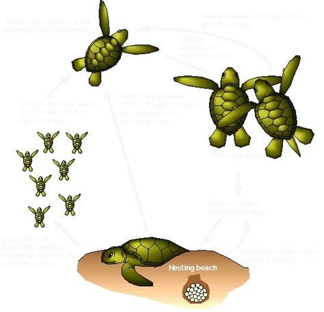 cycle of a turtle diagram leatherback sea turtle cycle