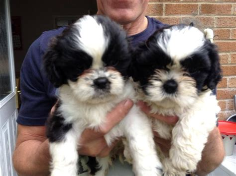 king charles shih tzu king charles shih tzu for sale newport newport pets4homes