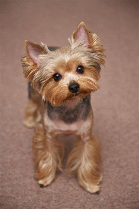 yorkie hair hairstyle for terrier best 20 yorkie hairstyles ideas on yorkie