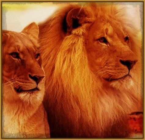 imagenes de leones bravos descarg 225 imagenes de leones hermosos imagenes de leones
