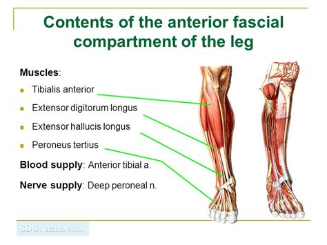 The Leg L by Regional Anatomy Of The Lower Limb Ppt