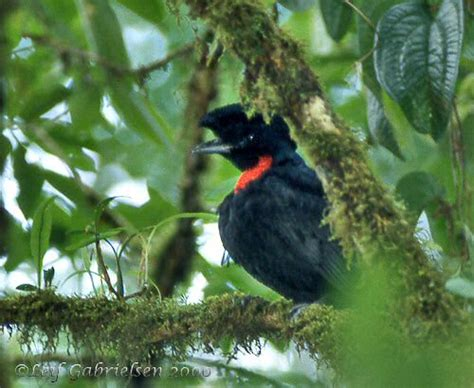 how to see a bare necked umbrellabird