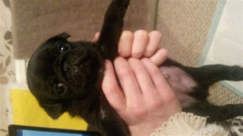 pugs for sale warrington 4 pug puppies for sale warrington cheshire pets4homes