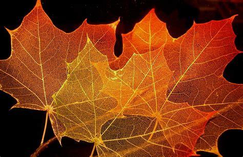 file maple leaves jpg file maple leaf structure jpg wikimedia commons
