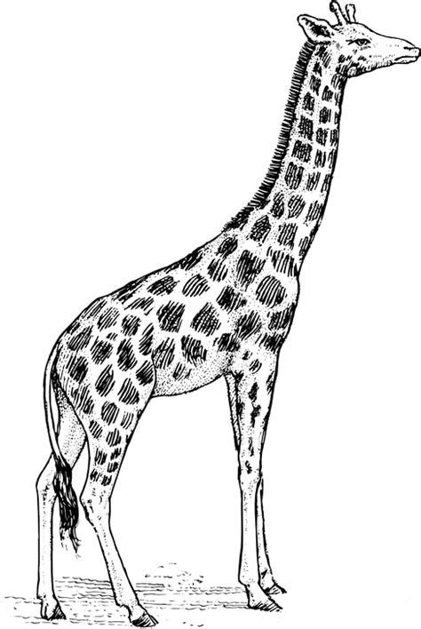 Žirafa | Omalovánka k vytisknutí, Obrázek k tisku zdarma