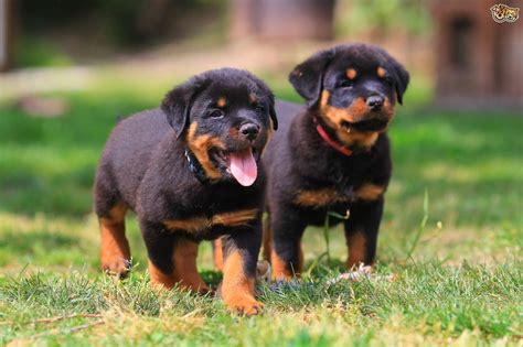 puppy rottweilers rottweiler breed information buying advice photos and facts pets4homes