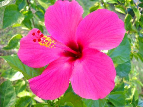 file kembang sepatu hibiscus jpg wikimedia commons