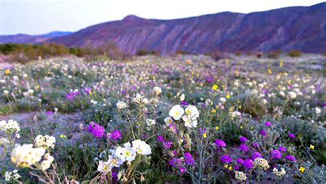 super bloom anza borrego the super bloom unleashed serious flower power at anza