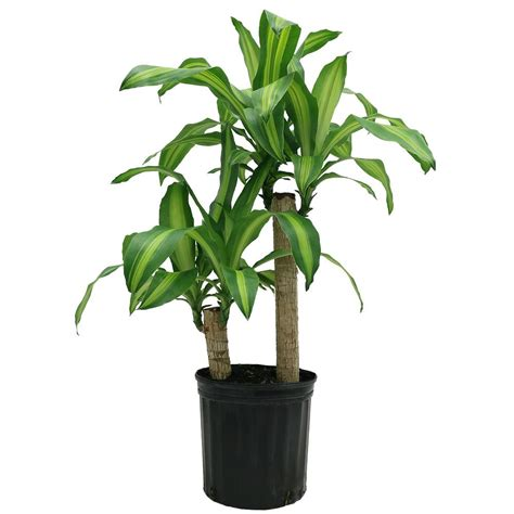 indoor plant delray plants mass cane in 8 75 in grower pot 10mc2 the