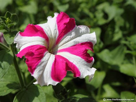 pictures of flowers petunia pictures petunia flower pictures