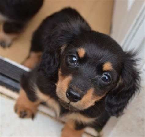 haired dachshund puppies 25 best ideas about miniature dachshund breeders on