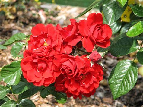 Pupuk Untuk Menyuburkan Bunga bagaimana cara penanaman bunga mawar toko bunga cantik