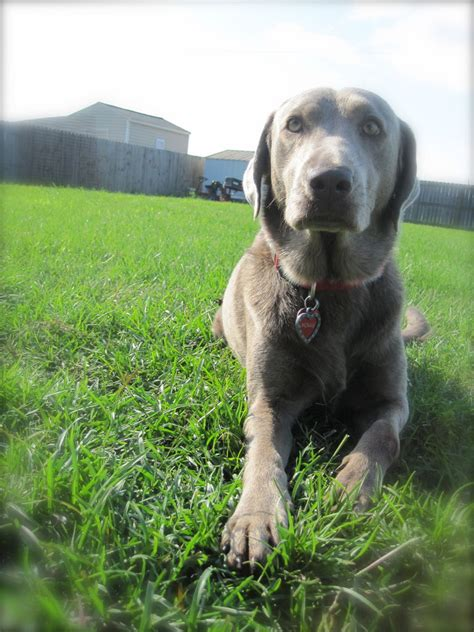 silver lab puppies washington silver and chocolate lab puppies for sale breeds picture