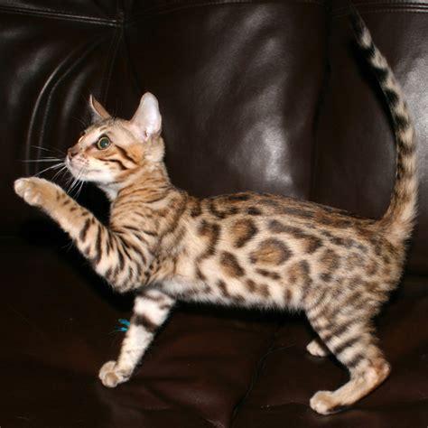 Lynx House Cat by Lynx Cat Domestic