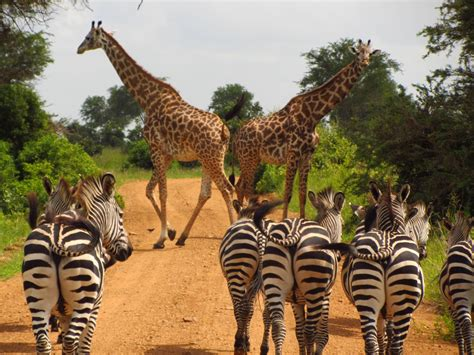 imagenes de jirafas y zebras fotos gratis animal fauna silvestre mam 237 fero sabana