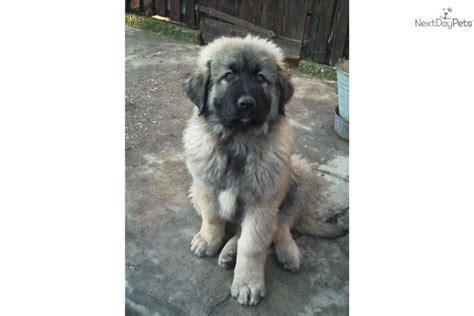 sarplaninac puppies for sale sarplaninac for sale for 700 near budapest hungary 878585e2 5851