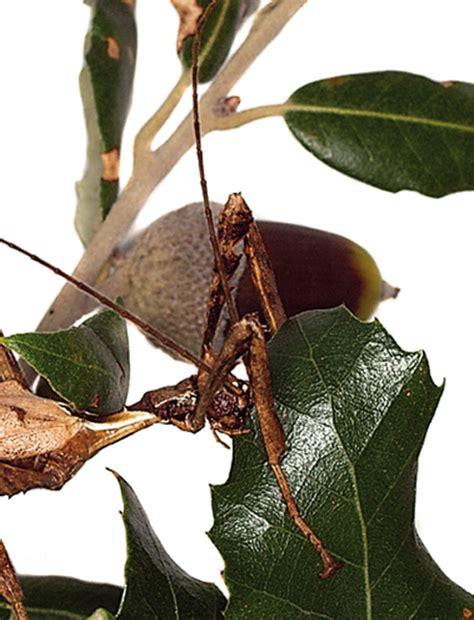 insetto stecco alimentazione club acquariologico erpetologico barese guida all
