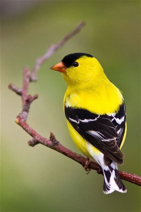 17 best images about american goldfinch on pinterest
