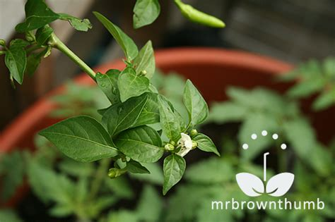 Pepper Planter by Mrbrownthumb Pepper Planter