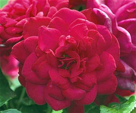 easy care roses how to grow beautiful easy care roses