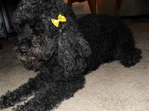 dogs with yellow 28 black poodle pictures and photos