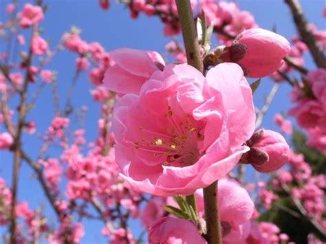fiori nomi e immagini significato fiori di pesco significato fiori