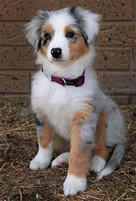 pomeranian australian shepherd the pomeranian australian shepherd mix much more than just a pretty coat